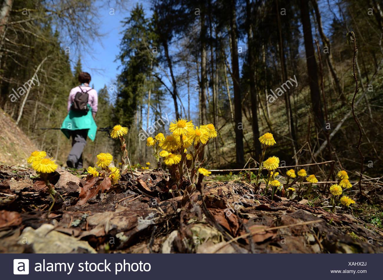 coltsfoot; walk; spring walk; wander; hike; - Stock Image