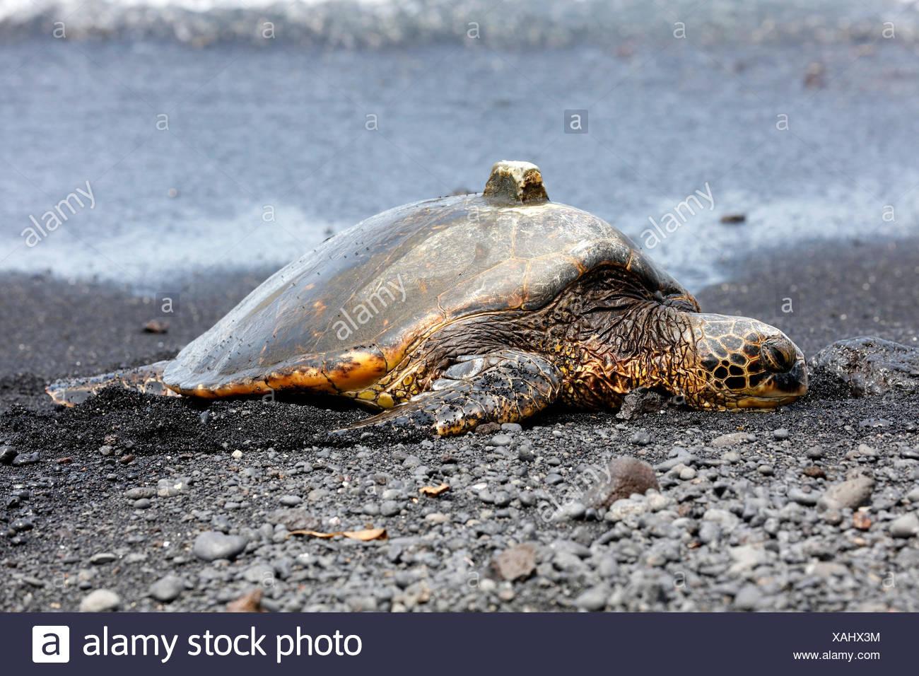 Green sea turtle (Chelonia mydas) with GPS receiver on shell, Black Sand Beach, Punalu'u, Big Island, Hawaii, USA - Stock Image