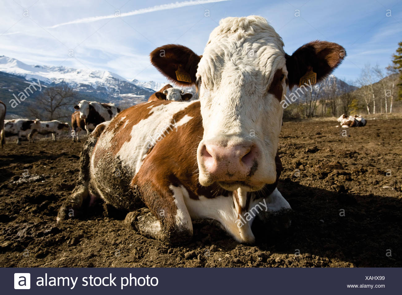 Cow lying down, mountains in background Stock Photo