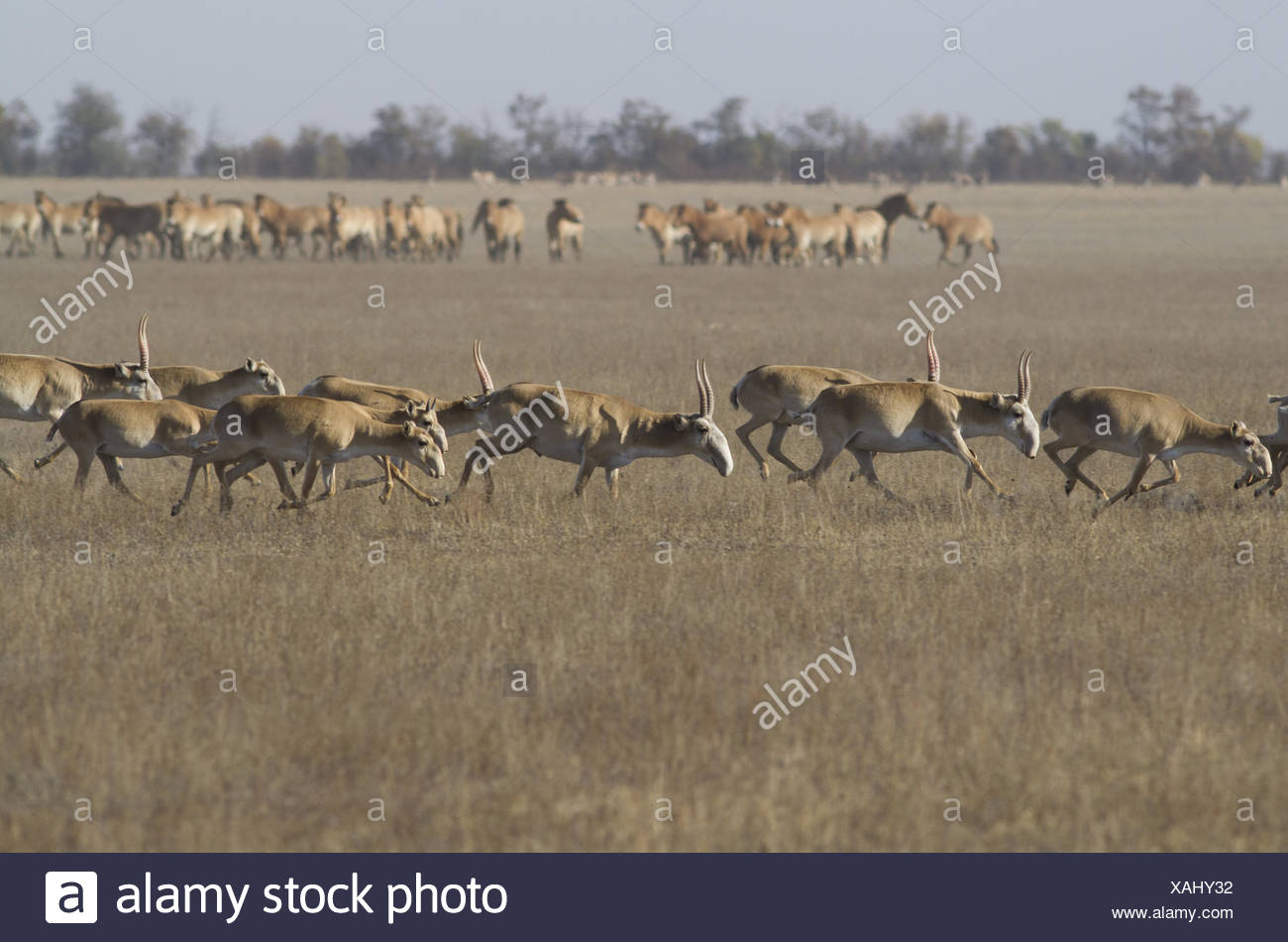 Saiga herd running through the autumn steppe. - Stock Image