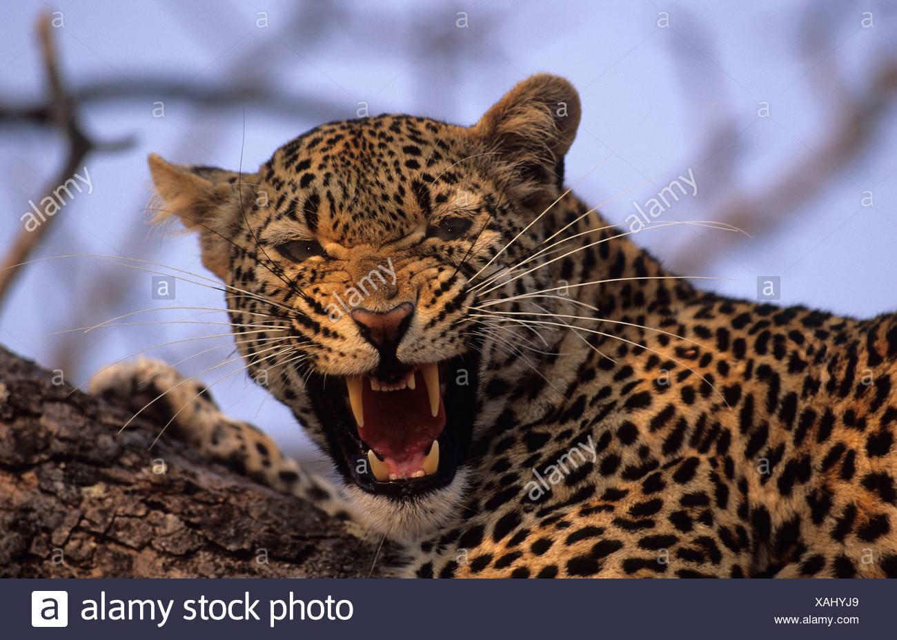 Leopard (Panthera pardus), snarling, Sabi Sabi, Greater Kruger National Park, South Africa Stock Photo