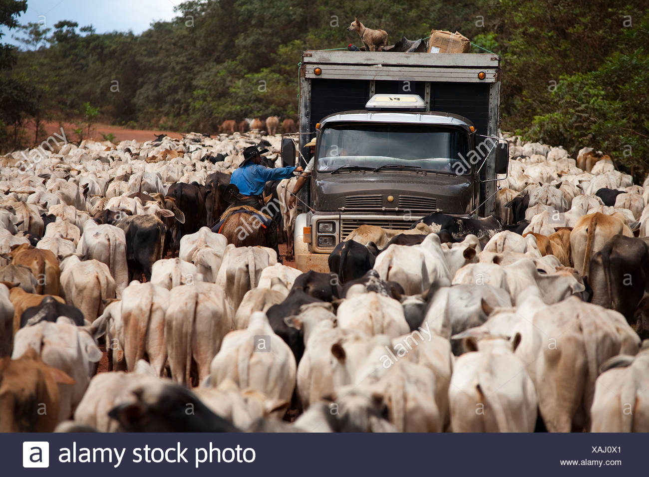 Herd of cattle BR 163 road Cuiabá Santarém road at South Para State Amazon Brazil Stock Photo
