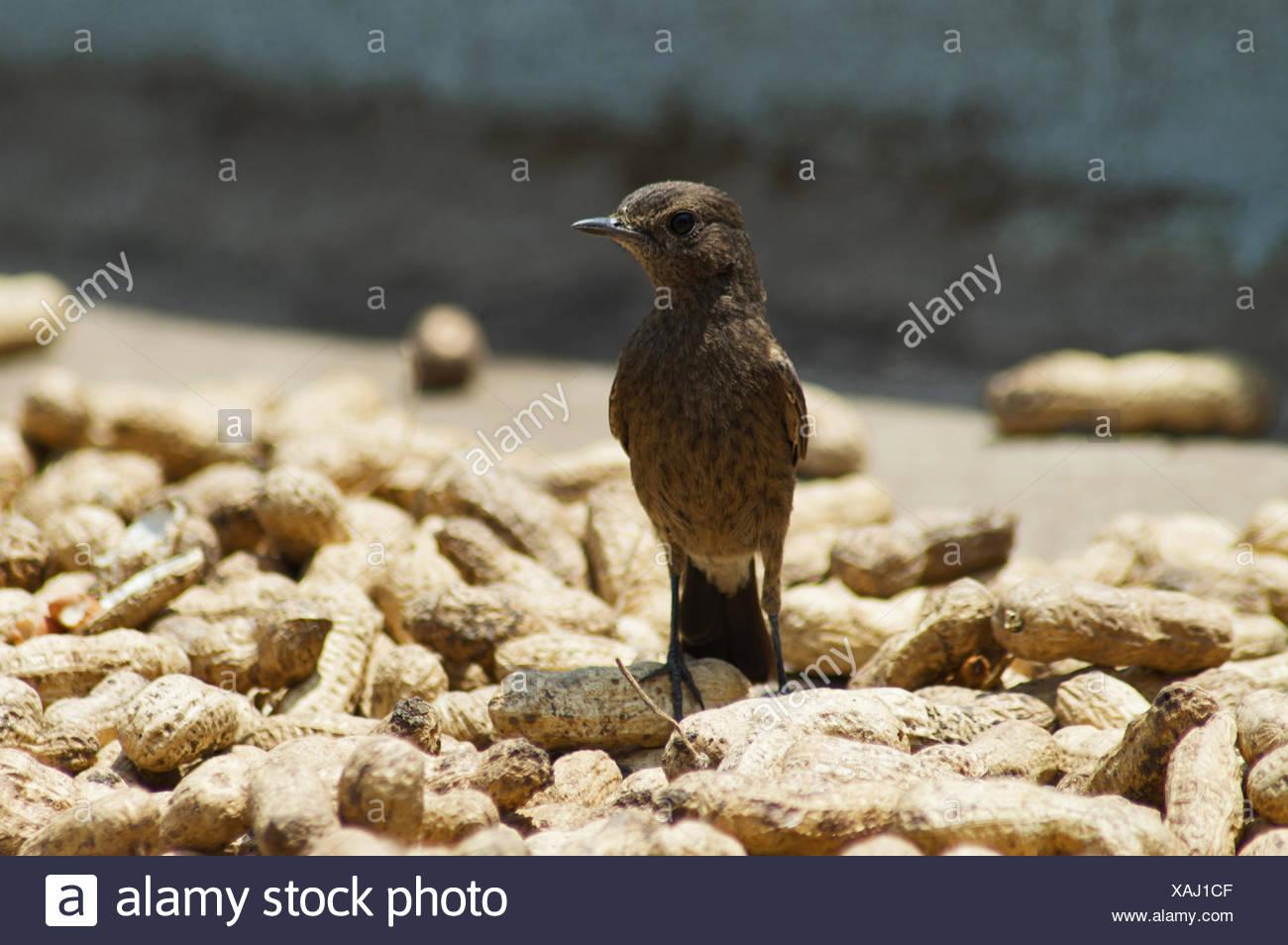 Pied Indian Bushchat (Saxicola caprata), Sangli, Maharashtra, India - Stock Image