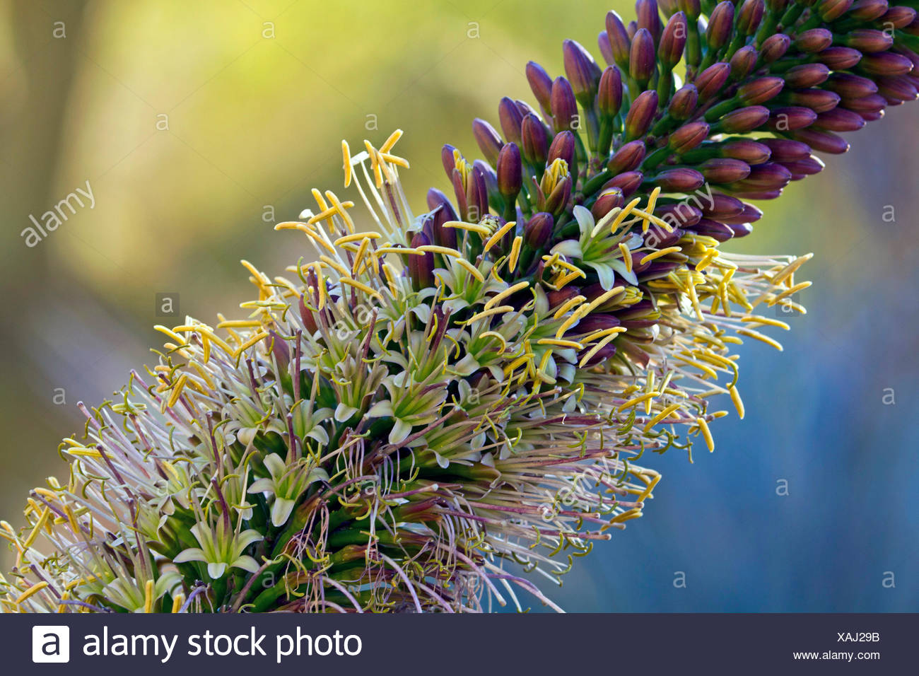 Agave (Agave spec.), inflorescence, detail - Stock Image