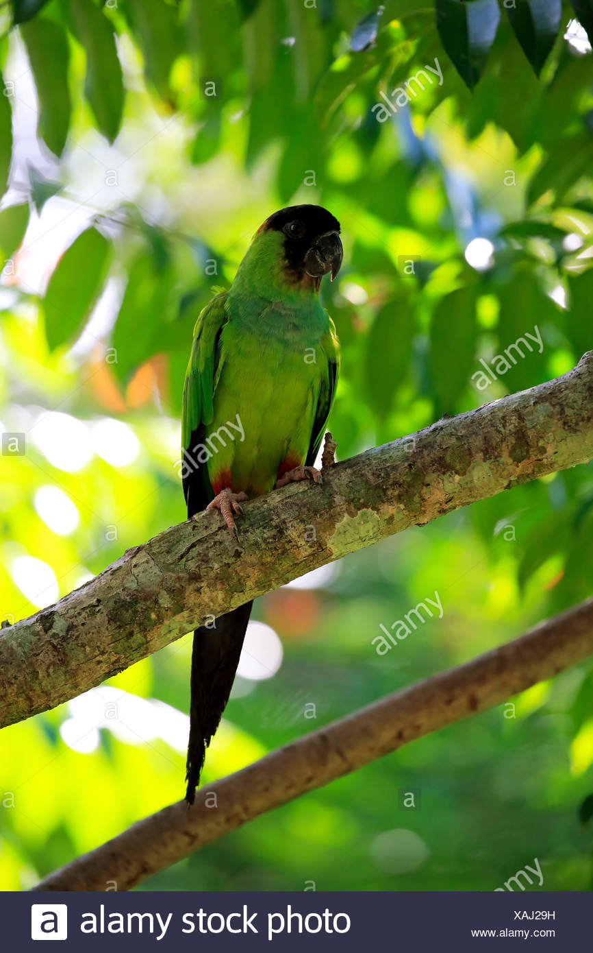 Nanday Parakeet (Nandayus nenday), adult in a tree, Pantanal, Mato Grosso, Brazil Stock Photo