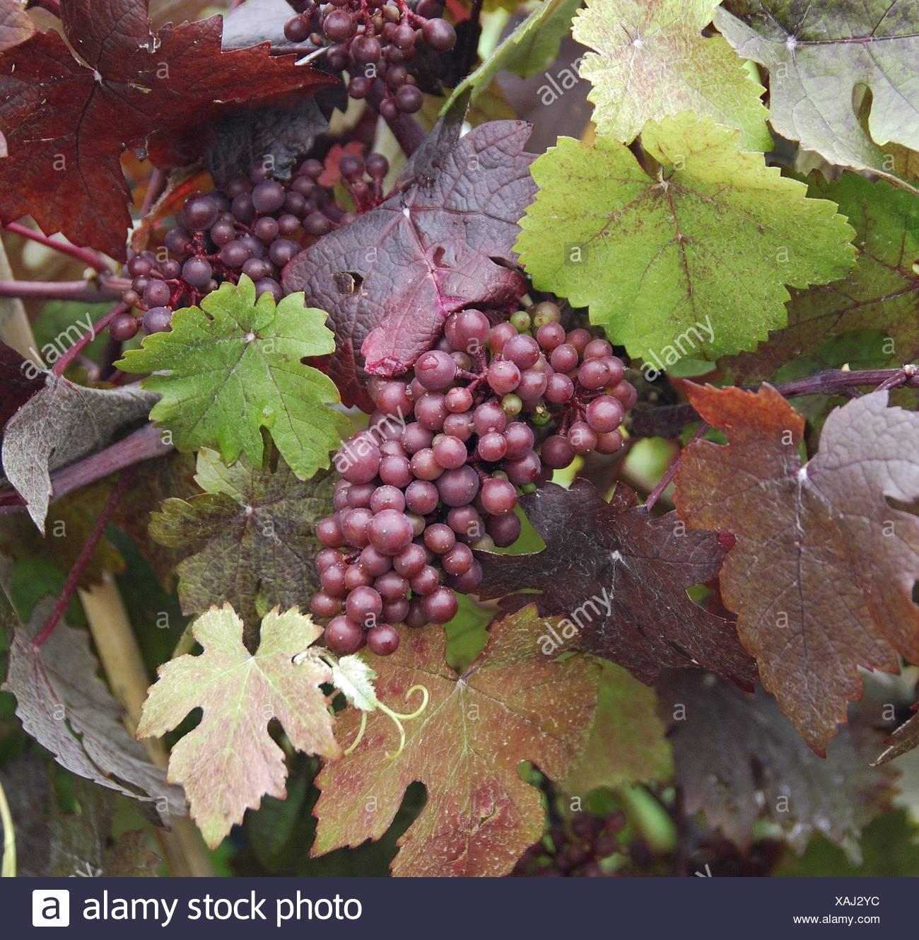 grape-vine, vine (Vitis vinifera 'Purpurea', Vitis vinifera Purpurea), cultivar Purpurea, Germany - Stock Image