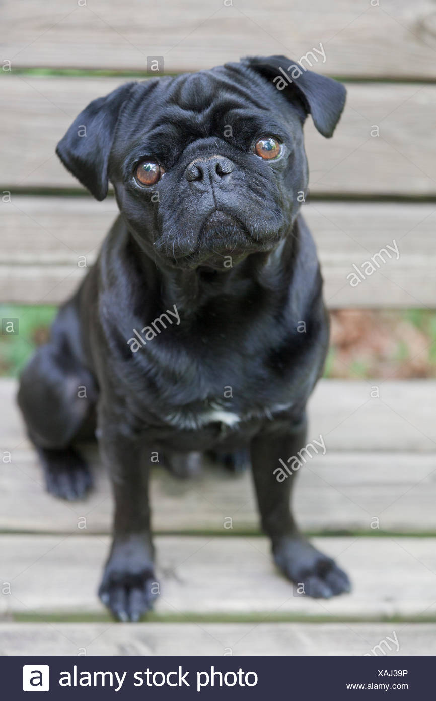 Black Pug on bench - Stock Image