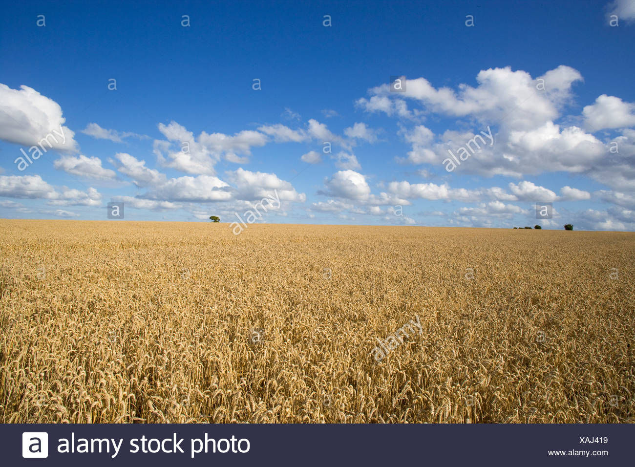 Clouds in blue sky over sunny wheat field - Stock Image
