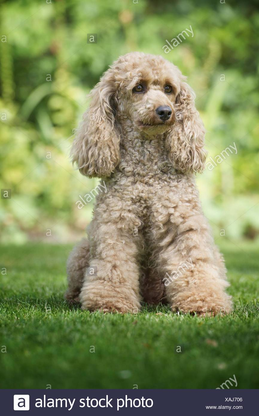 sitting small poodle - Stock Image