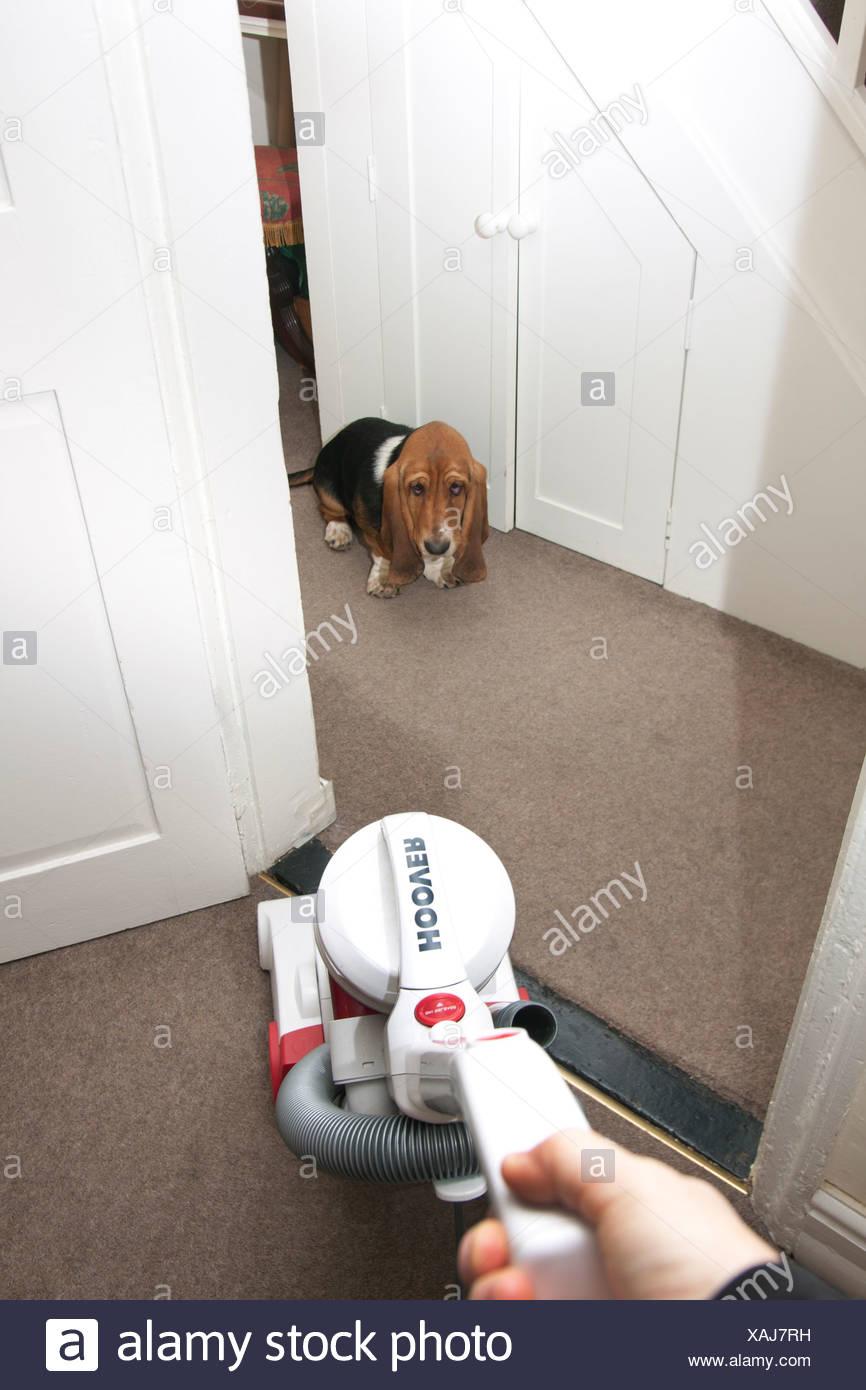 bassett hound puppy afraid of vacuum cleaner stock photo