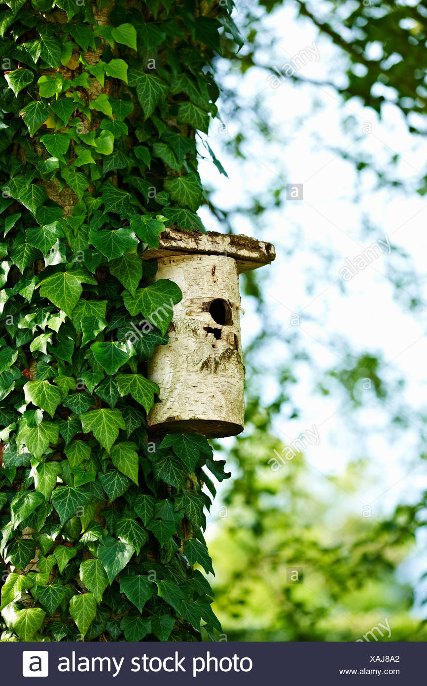 Birdhouse on ivy tree in backyard - Stock Image