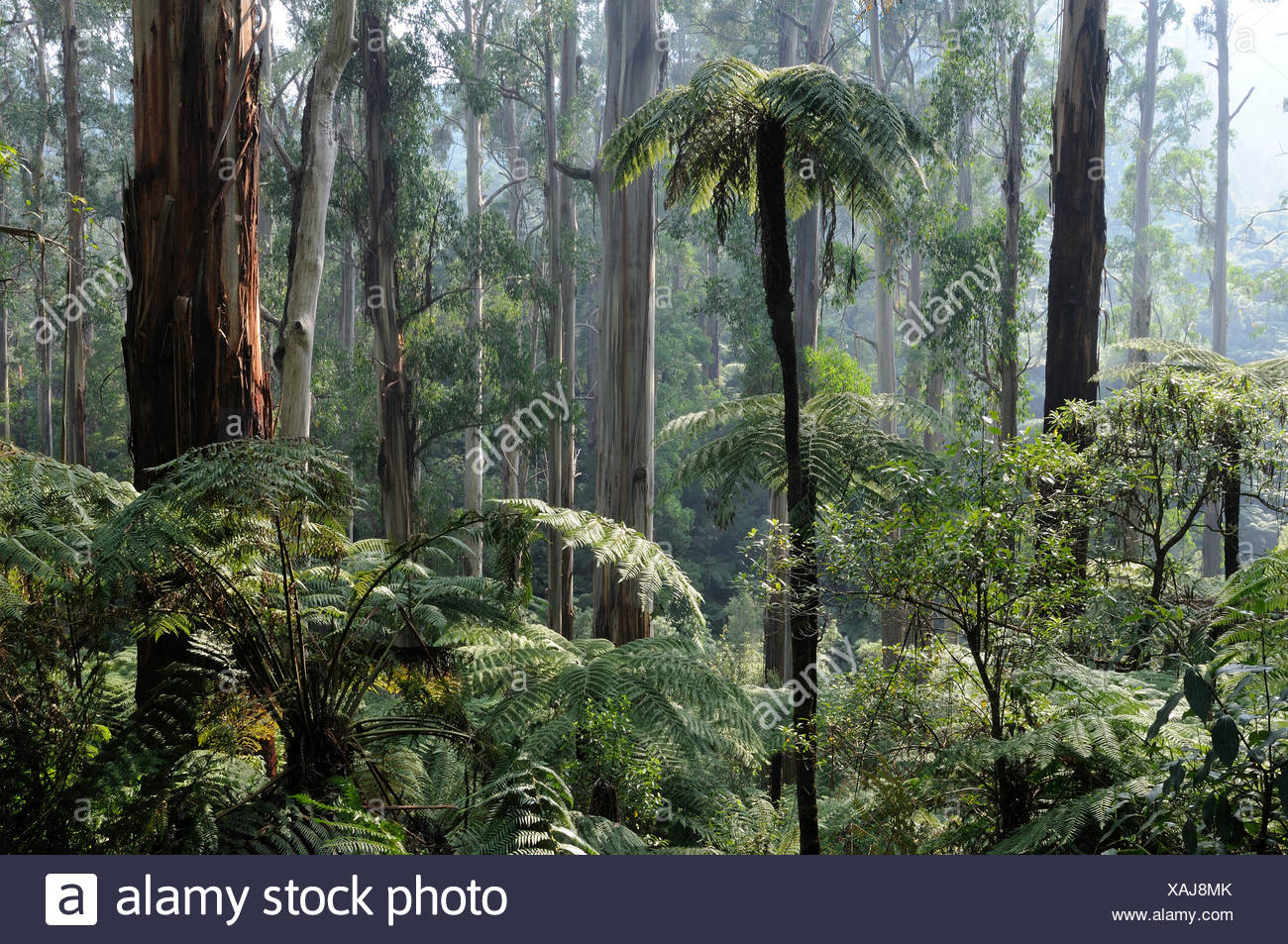 Royal eucalyptus (Eucalyptus regnans) and Soft tree-ferns (Dicksonia antarctica), Tarra Bulga National Park, Victoria, Australia. - Stock Image