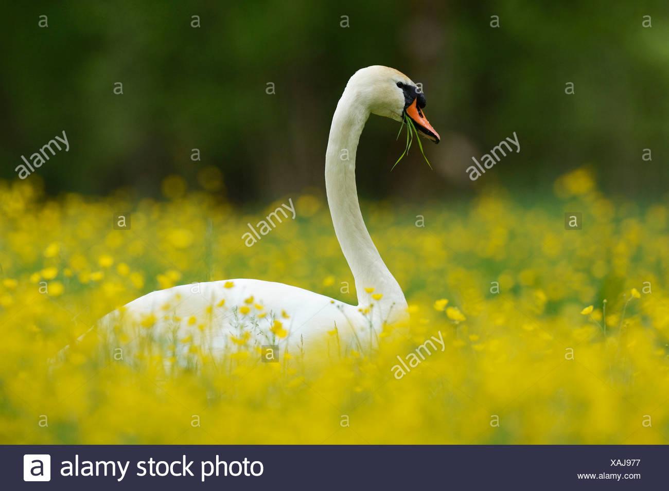 Mute Swan (Cygnus olor) feeding on buttercups (Ranunculus), Sarnen, Canton of Obwalden, Switzerland - Stock Image