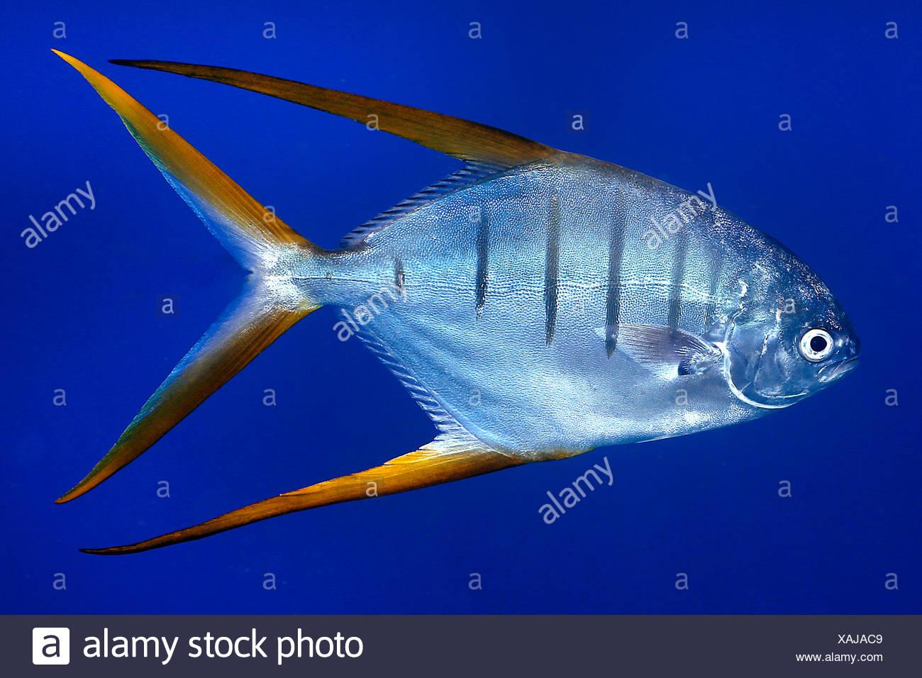 Stachelmakrele, Stachel-Makrele, Trachinotus rhodopus (Trachinotus rhodopus), schwimmend, Costa Rica | Gafftopsail pompano (Trac - Stock Image