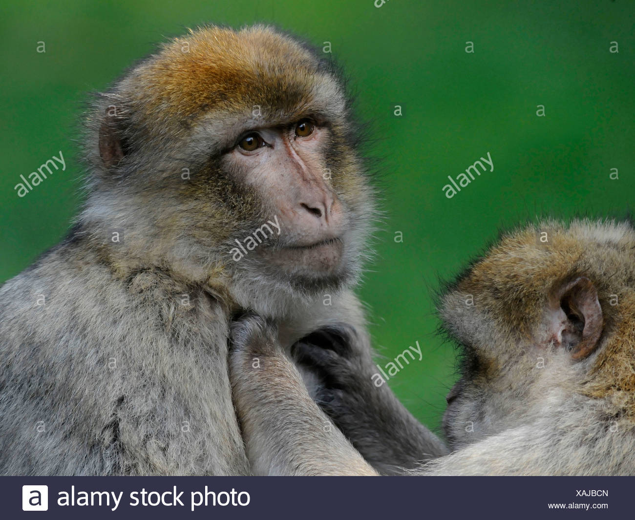 A barbary ape being groomed. - Stock Image