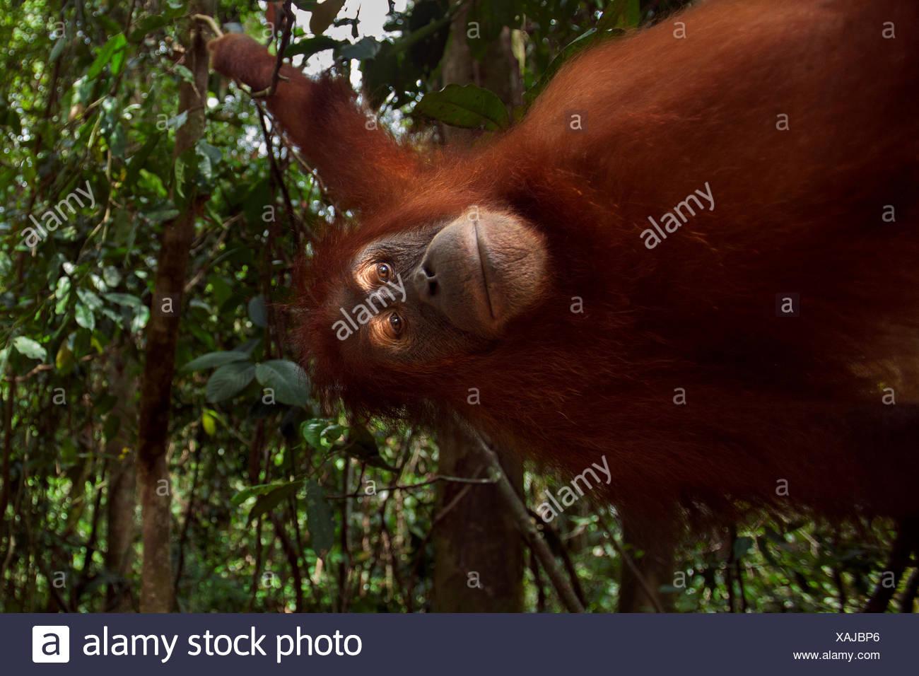 Sumatran orangutan (Pongo abelii) female 'Juni' aged 12 years swinging liana. Gunung Leuser National Park Sumatra Indonesia. Rehabilitated released (or descended those which were released) between 1973 1995. - Stock Image