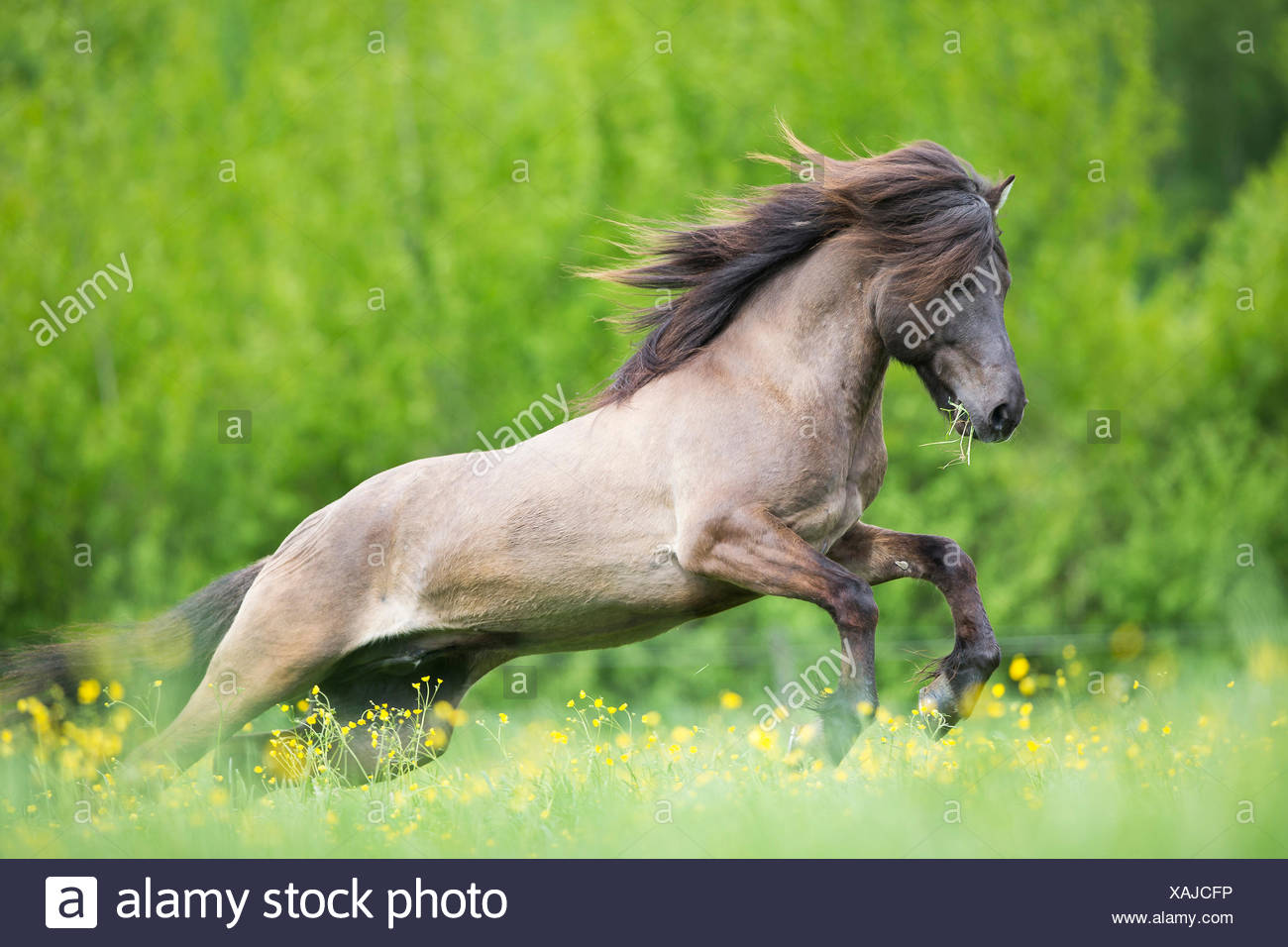 Icelandic Horse. Stallion galloping on a pasture. Austria - Stock Image