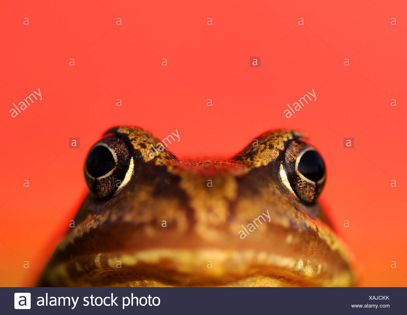 Common frog (Rana temporaria) portrait with red background. UK. - Stock Image