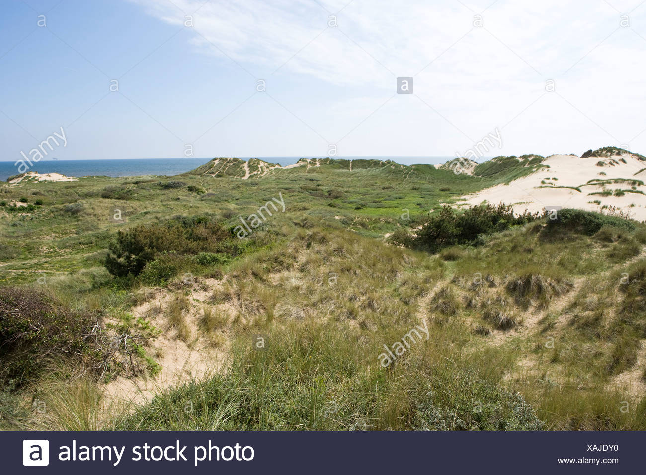 scrub and marram grass growing in an area of stable sand dunes. Formby - Stock Image