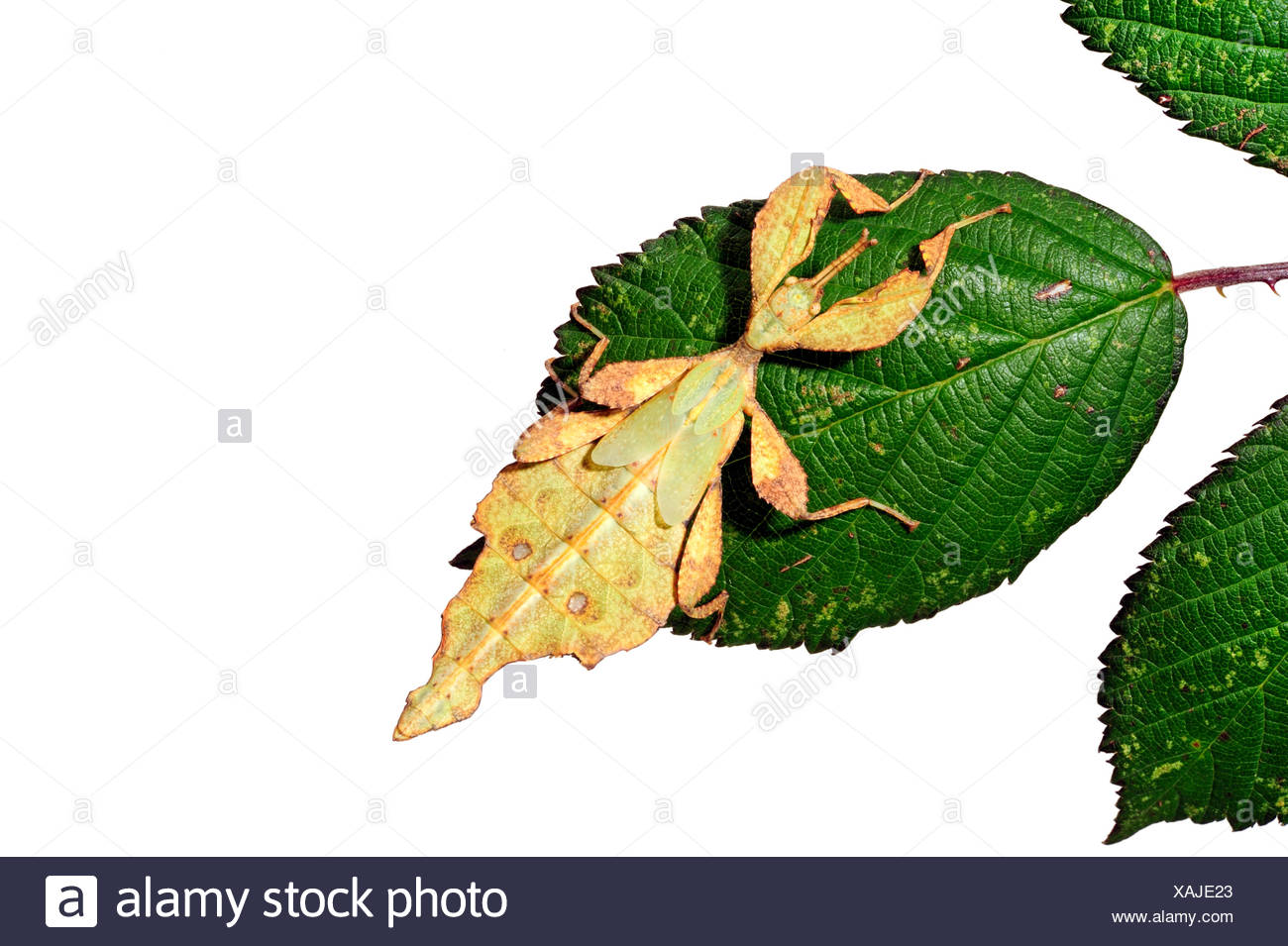 Celebes Leaf Insect, leaf insect, walking leave (Phyllium celebicum), male on blackberry leaf, cut out Stock Photo