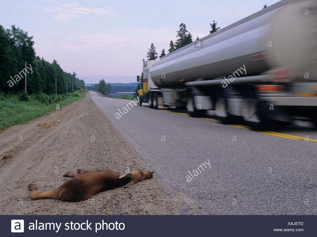 Moose (Alces alces) Juvenile killed on highway. Algonquin Provincial Park, Ontario, Canada - Stock Image