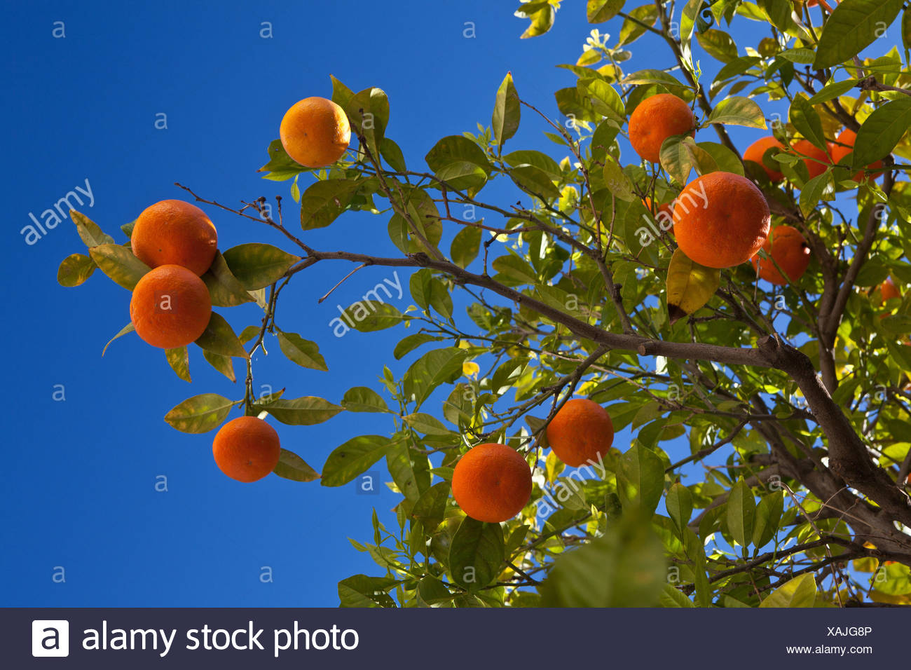 Orange tree (Citrus sinensis), with mature fruits in front of a clear blue sky, Spain, Andalusia - Stock Image
