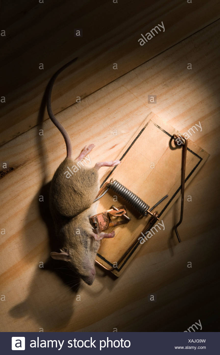 Mouse caught in spring mouse trap - Stock Image