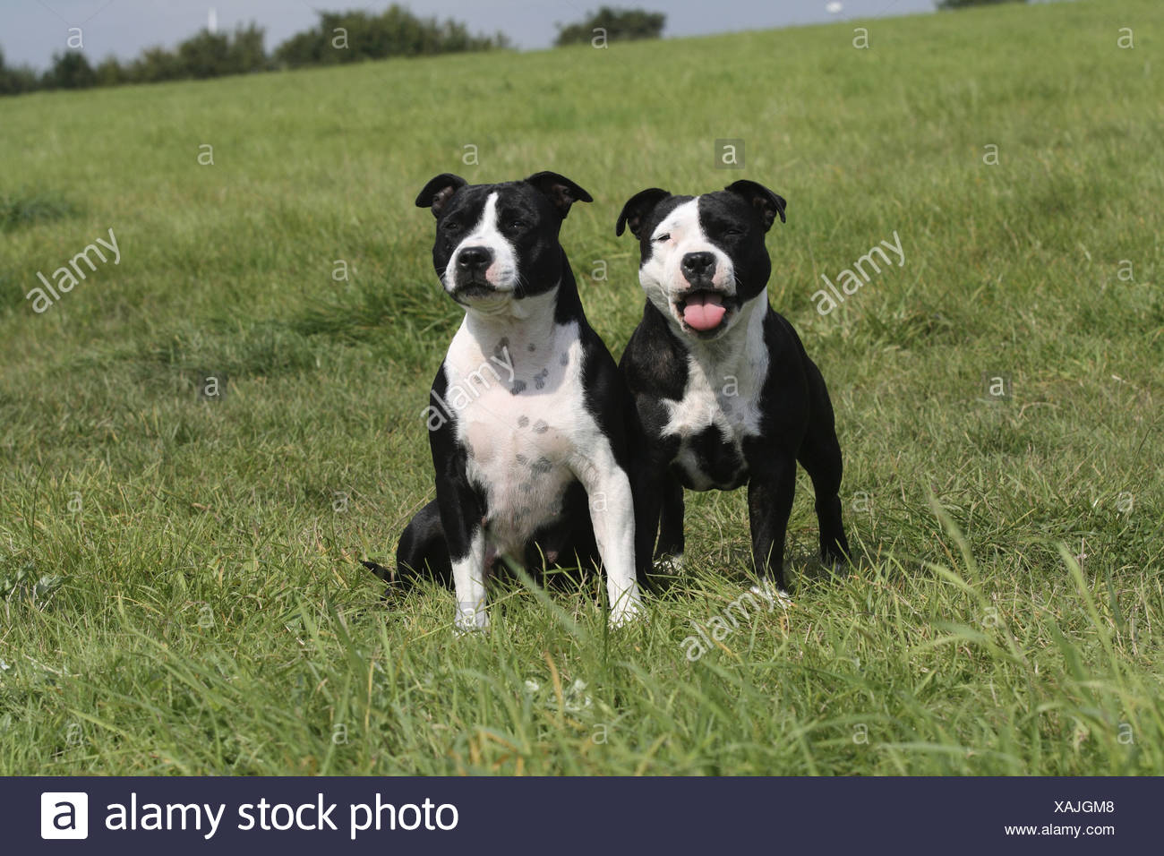Staffordshire Bull Terrier (Canis lupus f. familiaris), two femals next to each other in a meadow - Stock Image