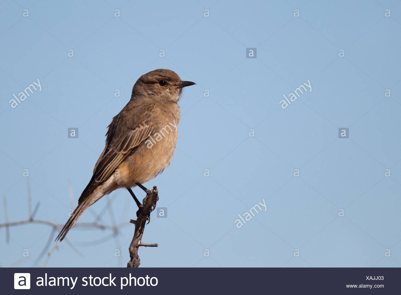 African brown flycatcher (Melaenornis infuscatus), sitting on a branch, South Africa, Kgalagadi Transfrontier National Park - Stock Image