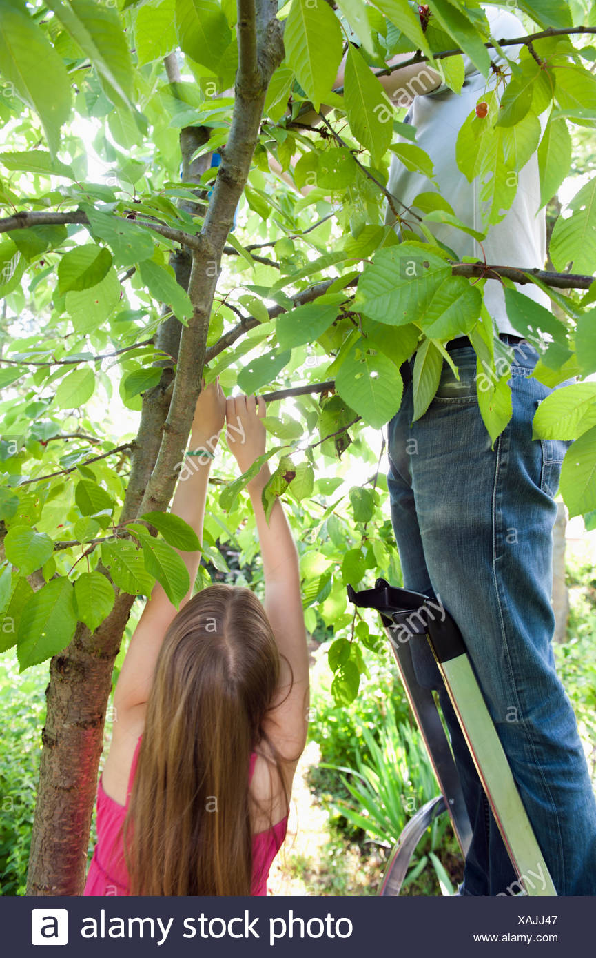 A father and his daughter picking cherries - Stock Image