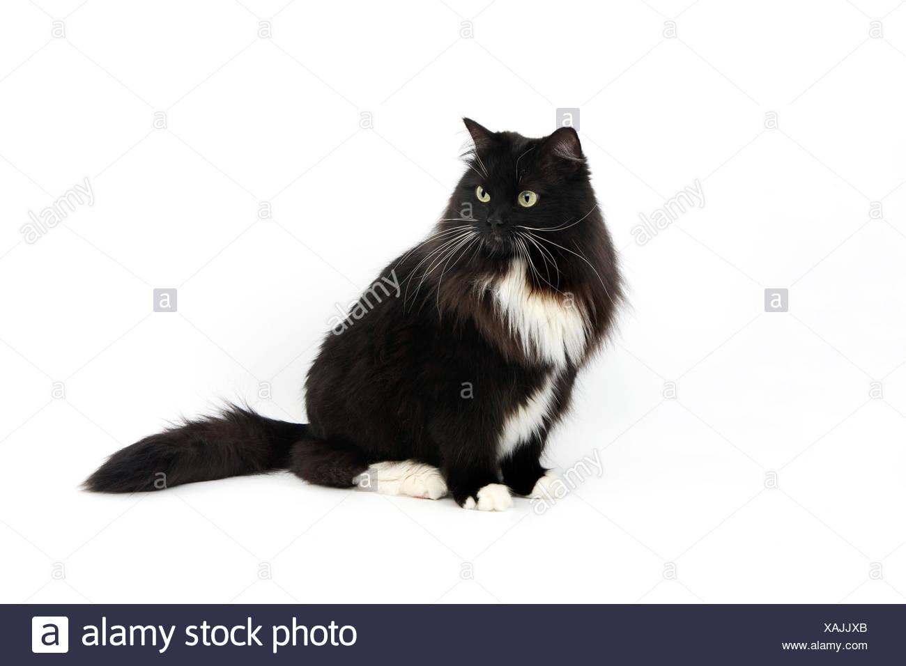 BLACK AND WHITE SIBERIAN CAT, FEMALE AGAINST WHITE BACKGROUND Stock Photo