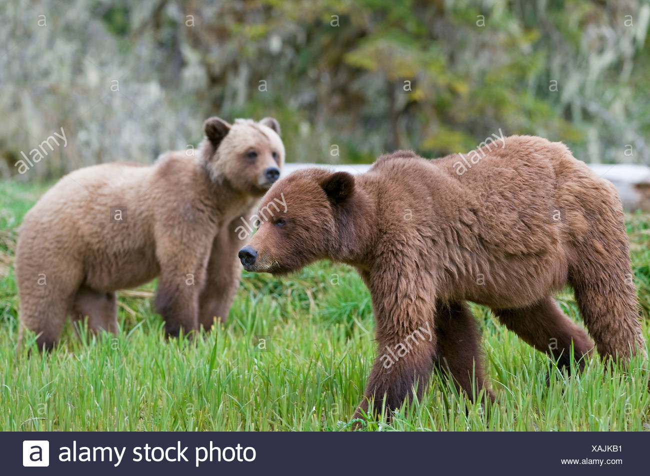 Male and female Grizzly Bear (Ursus arctos horribilis) during mating season at Khutzeymateen Grizzly Bear Sanctuary British Colu - Stock Image