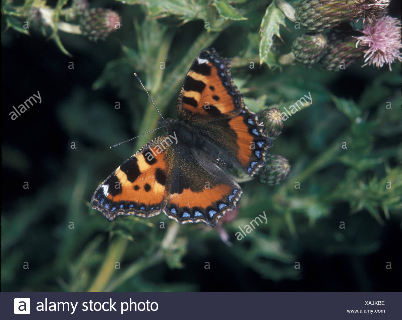 Small Tortoishell Aglais urticae Wings open S - Stock Image