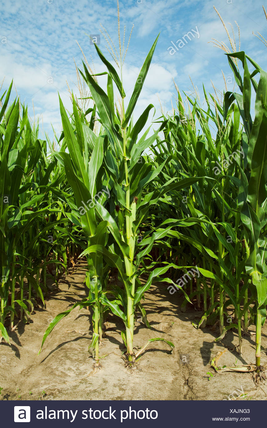 Twin row planted mid growth grain corn plants at the post tassel stage with maturing ears on the stalks, viewed from the row end - Stock Image