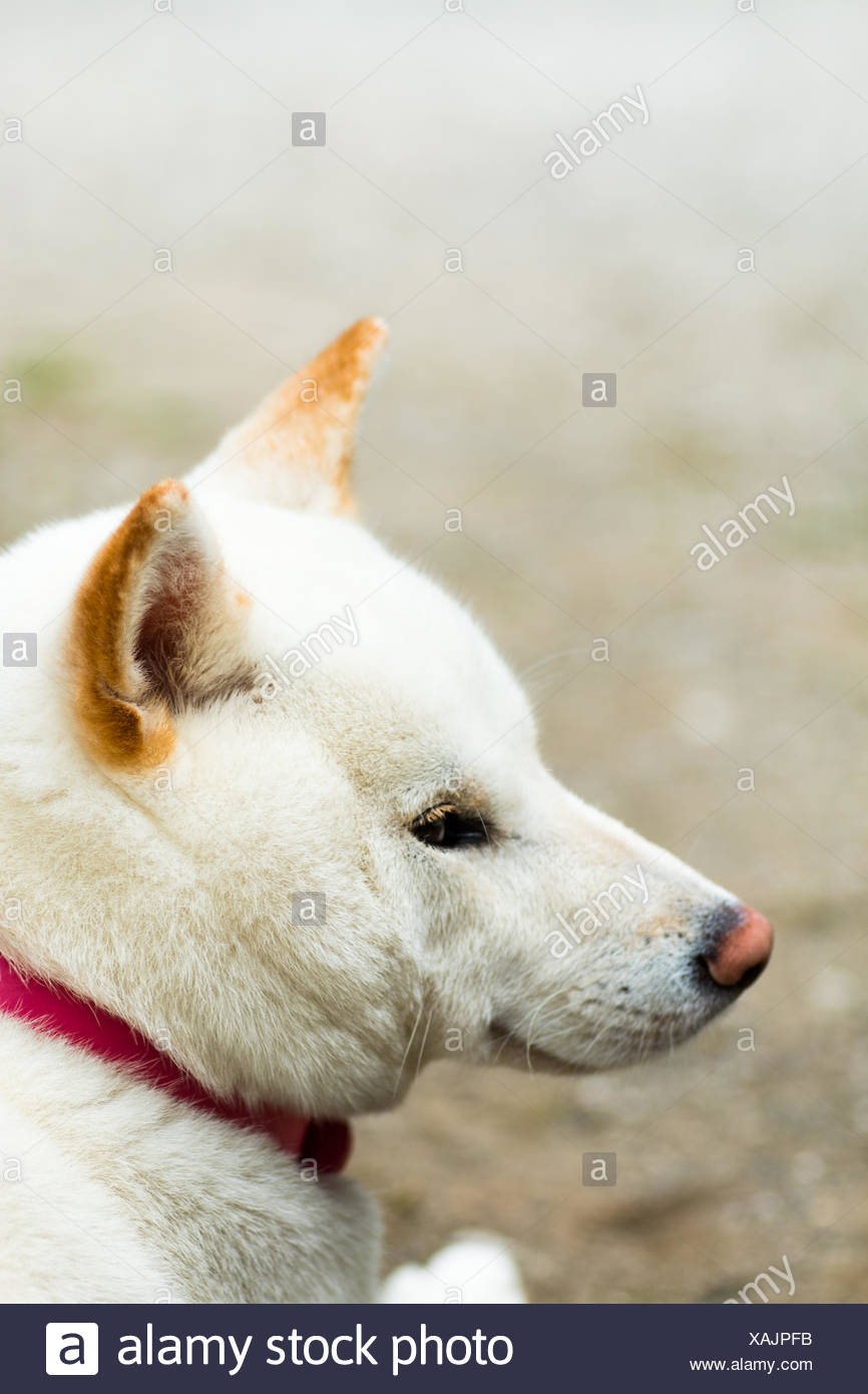 Close-Up Of White Shiba Inu - Stock Image