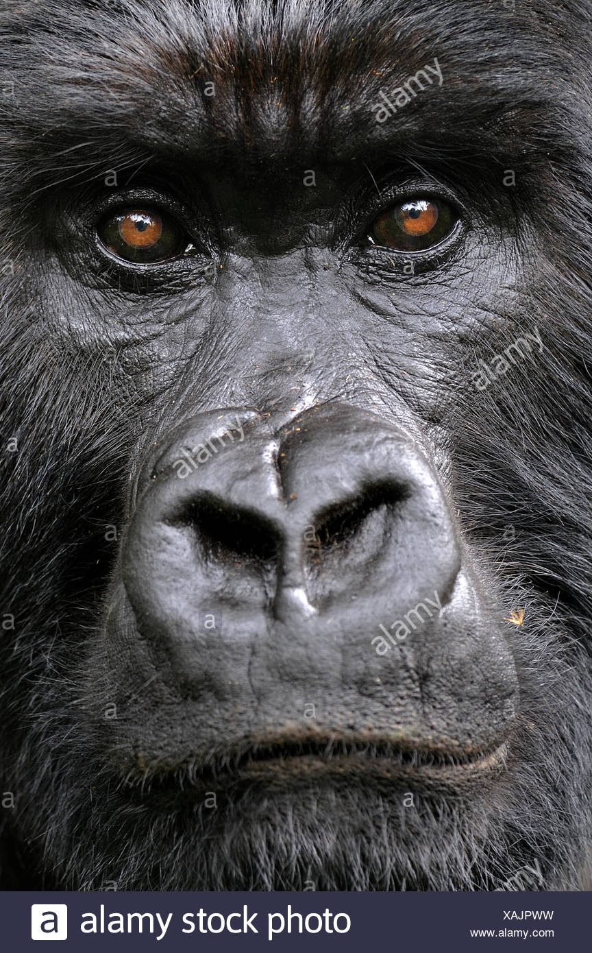 Mountain gorilla (Gorilla beringei beringei) silverback, face portrait, Volcanoes NP, Virunga mountains, Rwanda - Stock Image