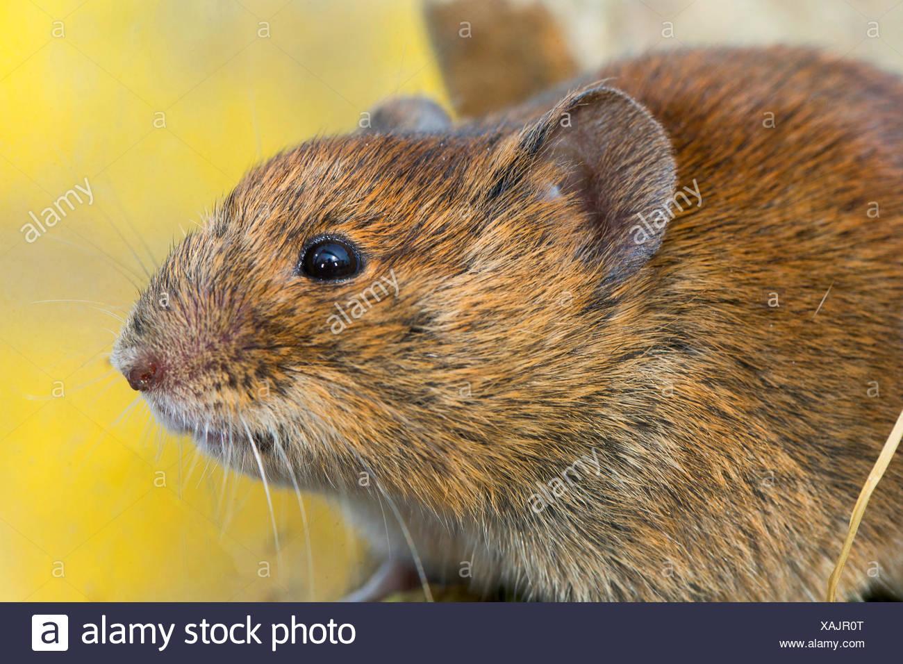 bank vole (Clethrionomys glareolus, Myodes glareolus), portrait, Germany, North Rhine-Westphalia - Stock Image