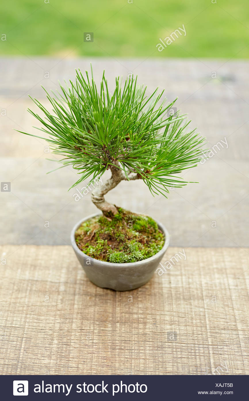 Bonsai Pinus thunbergii (Japanese Black Pine) - Stock Image
