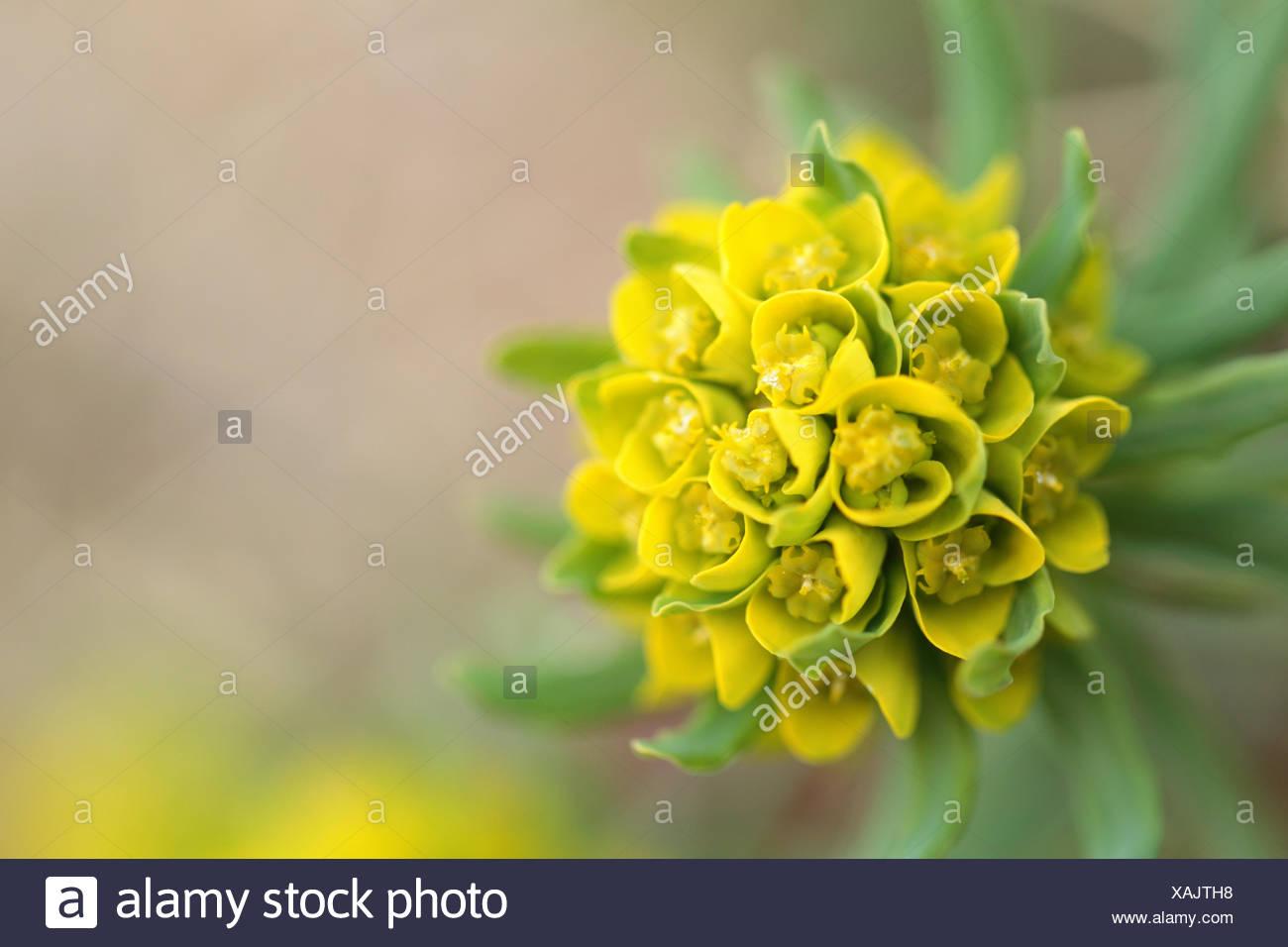 Cypress spurge, Euphorbia cyparissias, in soft focus. - Stock Image