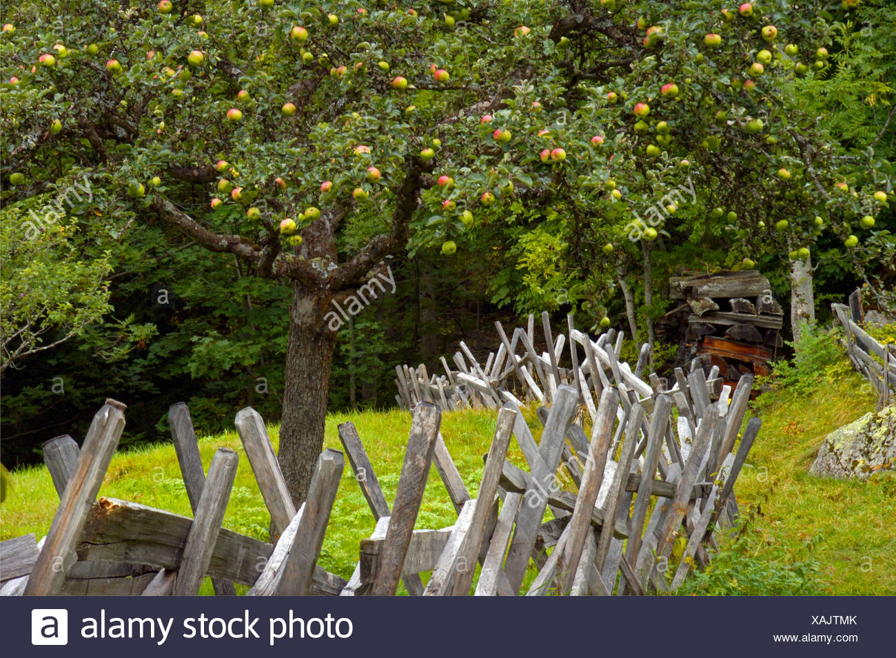 Malus s stock photos malus s stock images alamy for Domestica in svizzera