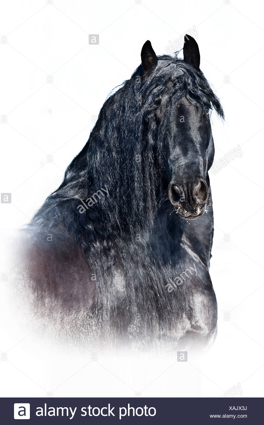 Friesian Horse Portrait Of Black Stallion In Snow Stock Photo Alamy
