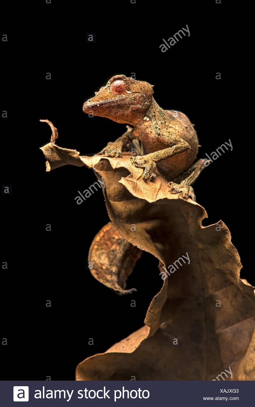 Satanic Leaf Tailed Gecko (Uroplatus phantasticus), camouflaged on dry leaves, endemic, Anjozorobe National Park, Madagascar - Stock Image