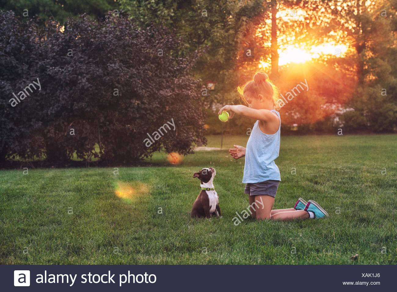 Side view of girl kneeling on grass using tennis ball to teach Boston terrier puppy - Stock Image
