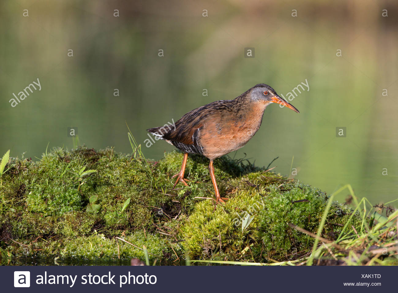 Virginia rail (Rallus limicola), male, Lac Le Jeune, British Columbia. Bird attracted to perch setup with recorded call. - Stock Image