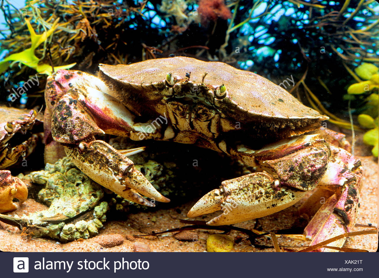 Atlantic Rock Crab, (Cancer irroratus) Stock Photo
