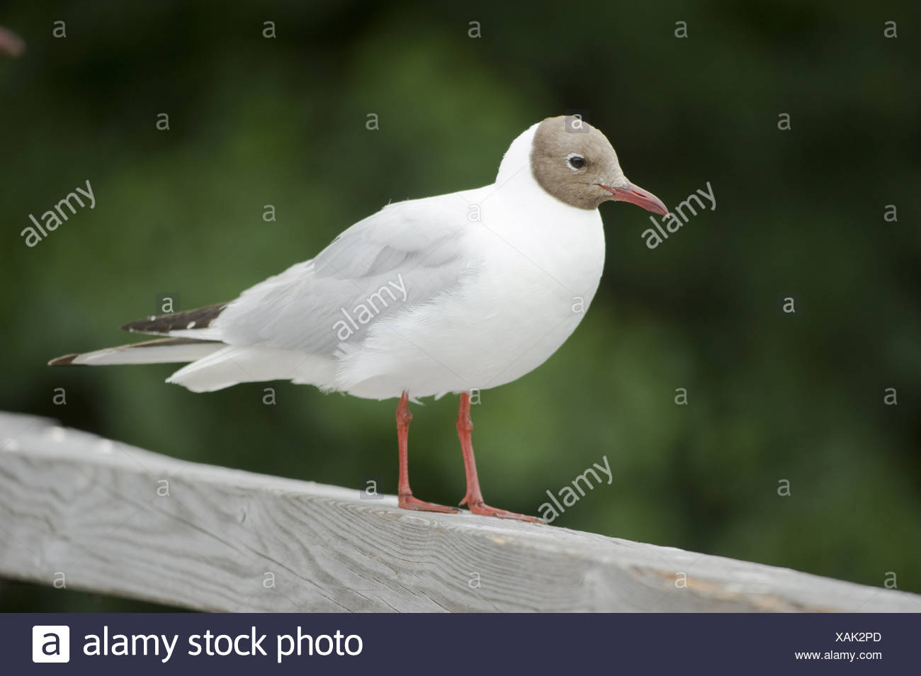black-headed gull, larus ridibundus - Stock Image