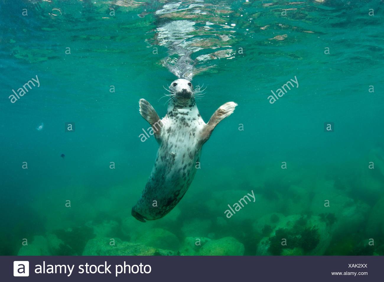 Female Grey seal (Halichoerus grypus) startled. Lundy Island, Devon, England, UK. Stock Photo
