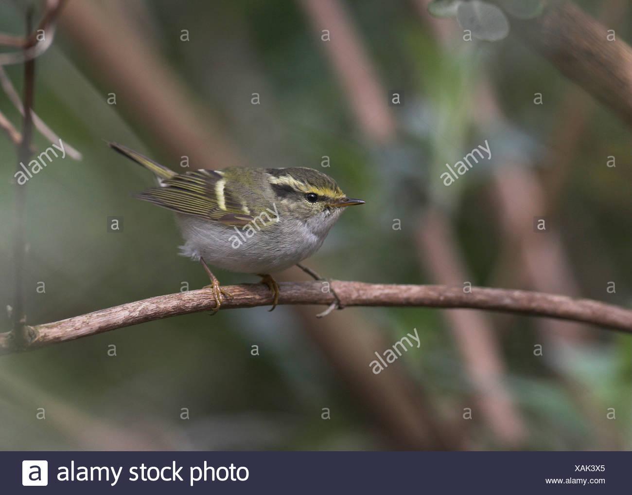 Pallas' boszanger zittend op tak, Pallass Leaf Warbler sitting on branch. Stock Photo