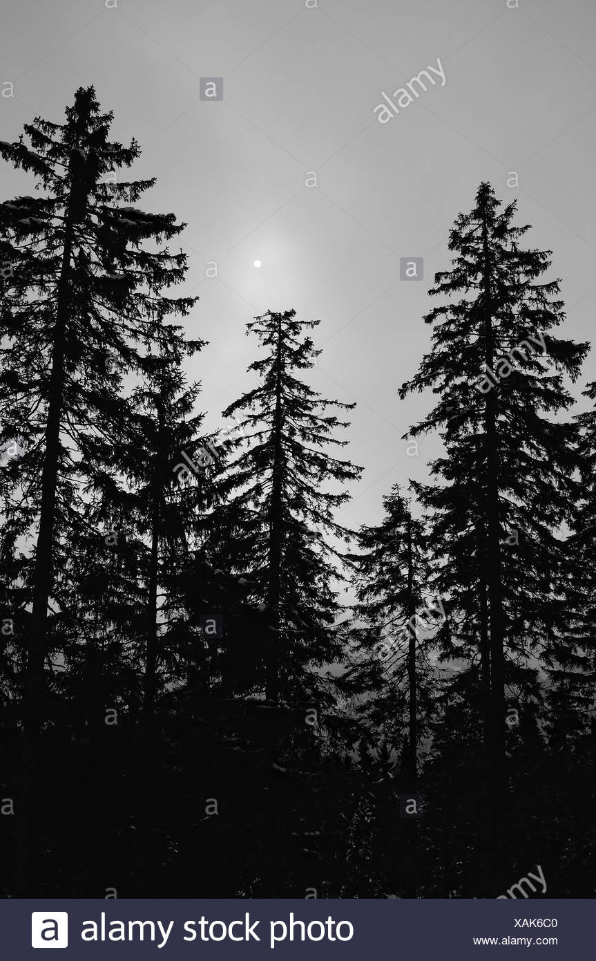 Coniferous forest in light black and white - Stock Image