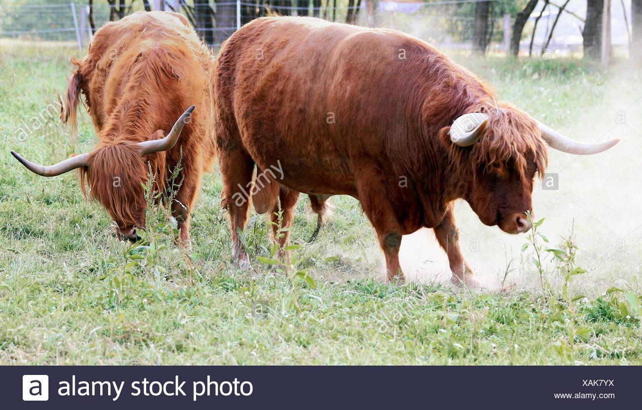 scottish highland cattle male and female - Stock Image